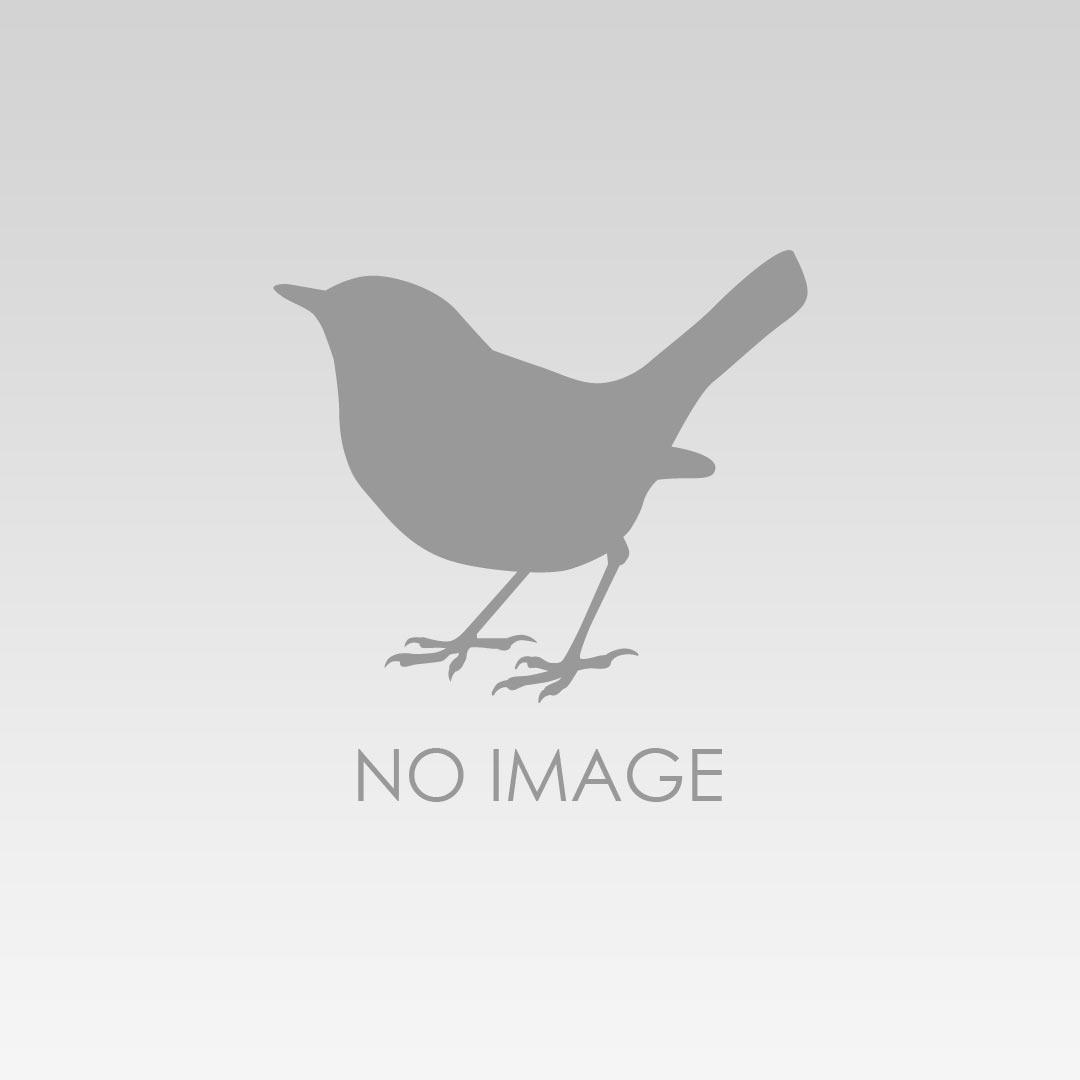 Tarsiger_cyanurus-female.jpg